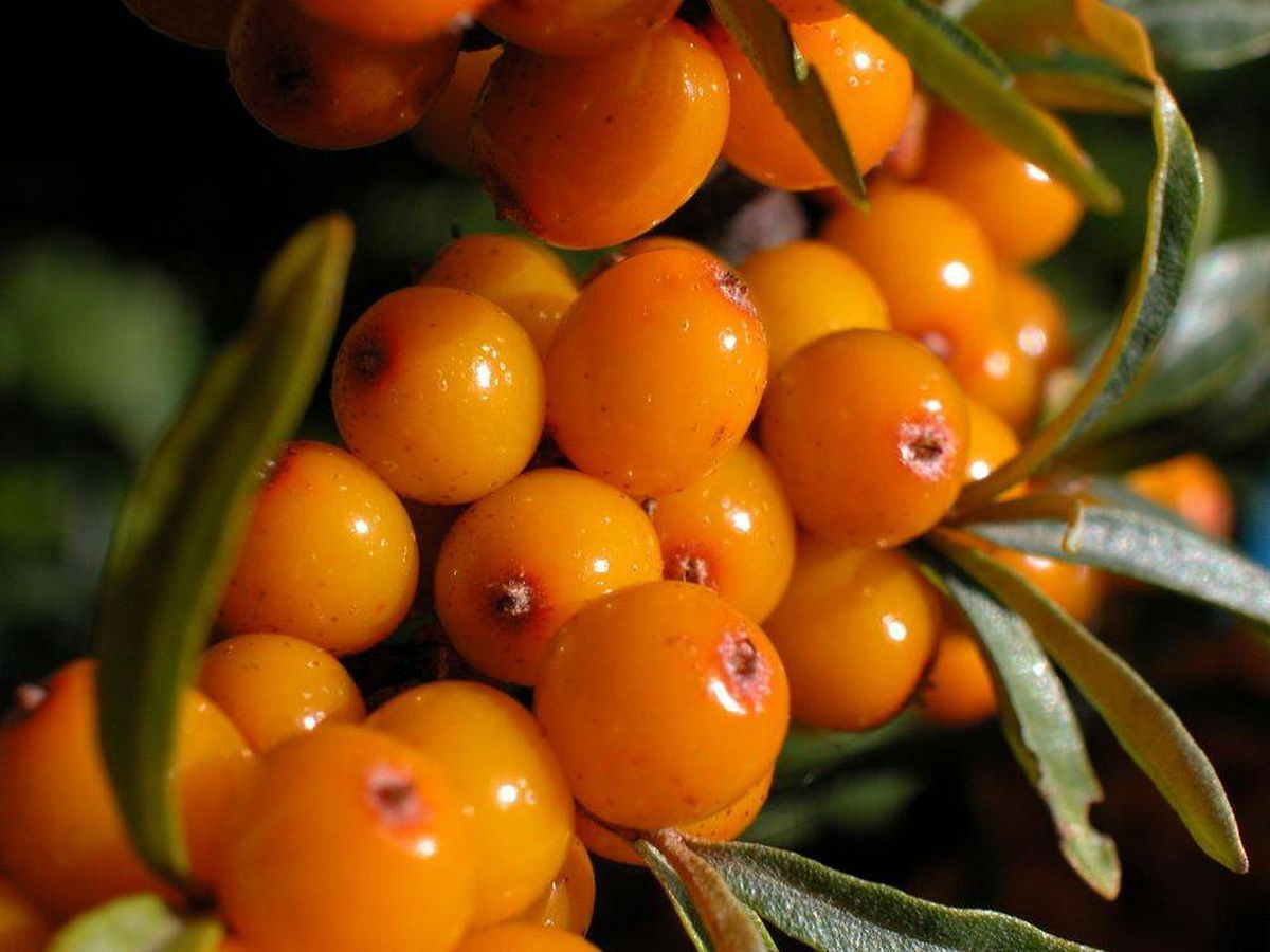 Image result for sea berries