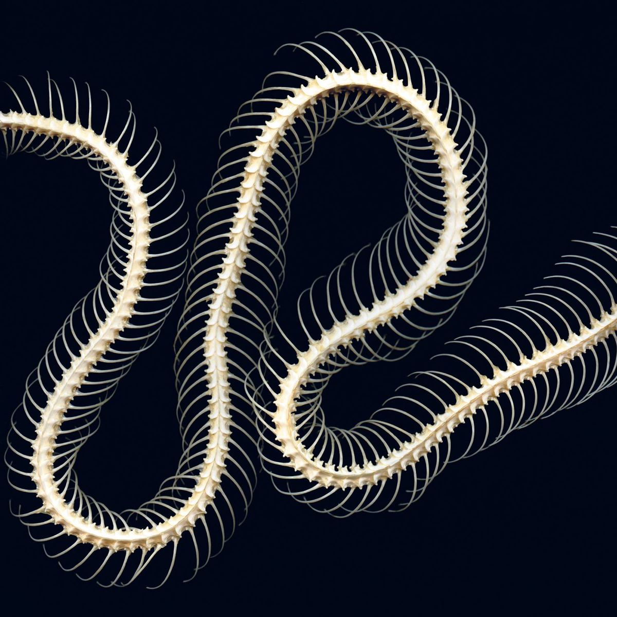 Cobra.I/II/III (triptych)© 2011. (Second image.) Each size: 20 x 20 in. Each image on 30 x 36 paper. Carbon pigment print.