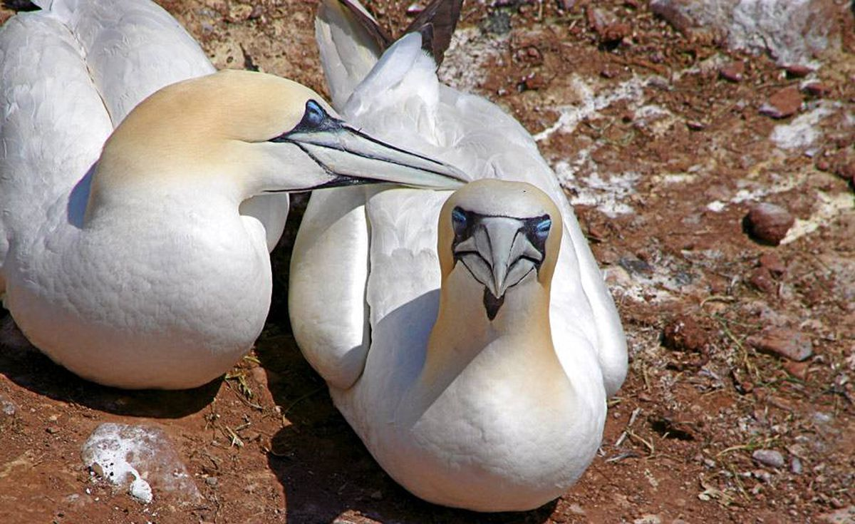 The fiercely territorial birds mate for life, and return to the same nest year after year.
