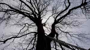 n this Nov. 19, 2007 file photo a tree expert, center, is silhouetted as he climbs Anne Frank's chestnut tree ahead of tests to determine its ability to remain upright during a storm, in Amsterdam, Netherlands. The monumental chestnut tree has fallen over Monday, Aug. 23, 2010, a spokeswoman for the Anne Frank Museum says. The 27-ton tree was encased in a steel tripod as a precaution of the danger it might fall. The tree's trunk snapped close to the ground and it toppled into neighboring gardens, damaging several sheds. No one was hurt.