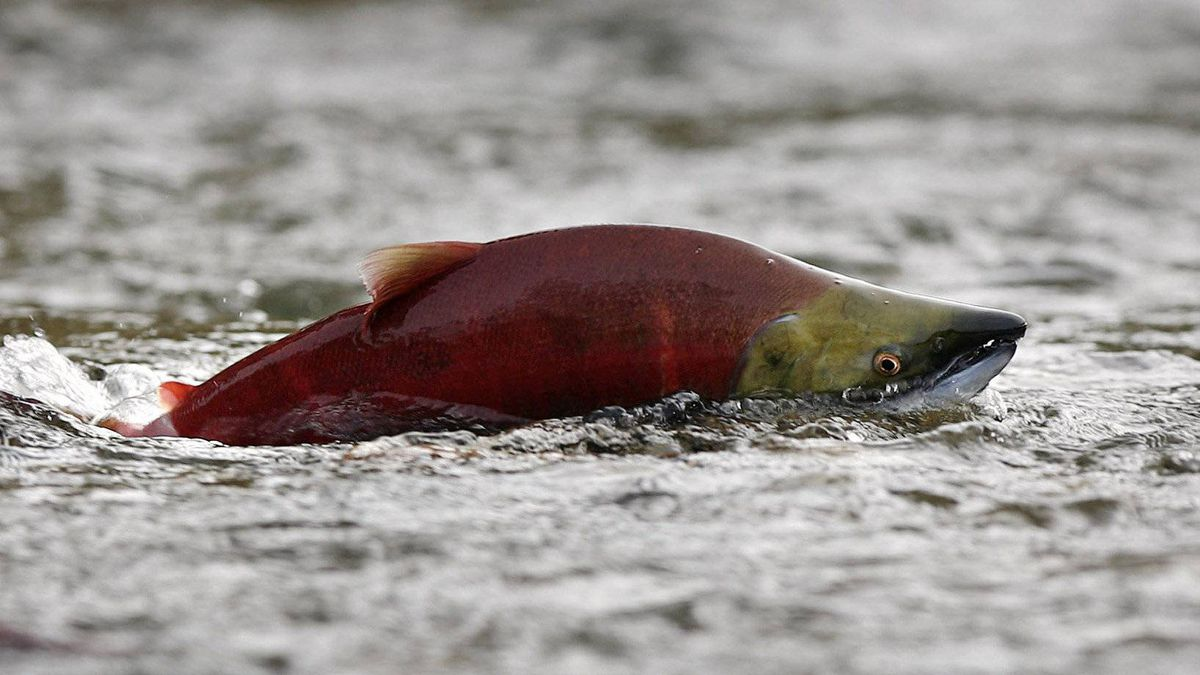 A sockeye salmon in the Adams River near Chase, British Columbia October 11, 2006.