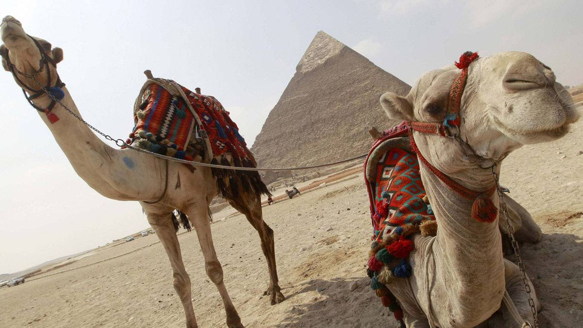 Camels rest near the pyramids in Giza outside of Cairo, March 1, 2011. A cafe in Dubai offers camel milk lattes.