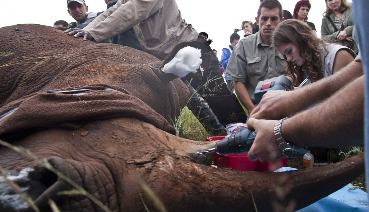 Veterinarians begin the process of drilling into the rhino's horn. In the treatment process, a DNA sample is taken, and holes are drilled so that veterinarians can infuse the horn with indelible dye and an anti-parastic drug that is toxic to humans if consumed. A microchip and tracking device are also inserted.