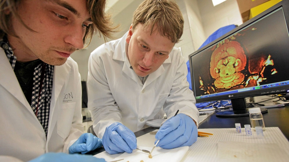 As part of his research into the effect of metals found in the brain McMaster University medical physics and applied radiation sciences, scientist, assistant professor Nicholas Bock, right, and grad student Nelson Miksys dissect a rat brain that was injected with Manganese. High levels of metals like zinc, magnesium, copper and iron in the brain can cause damage and they may play a role in degenerative diseases like Alzheimer's and Parkinson's.