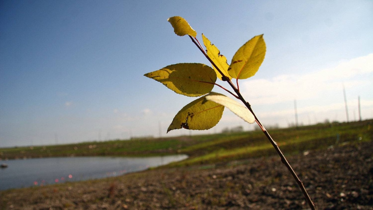A trembling aspen seedling grows on a former tailings pond in Alberta's oil sands.