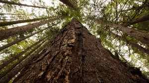 A Douglas Fir tree at Avatar Grove along the Gordon River Valley, B.C. August 29, 2010.