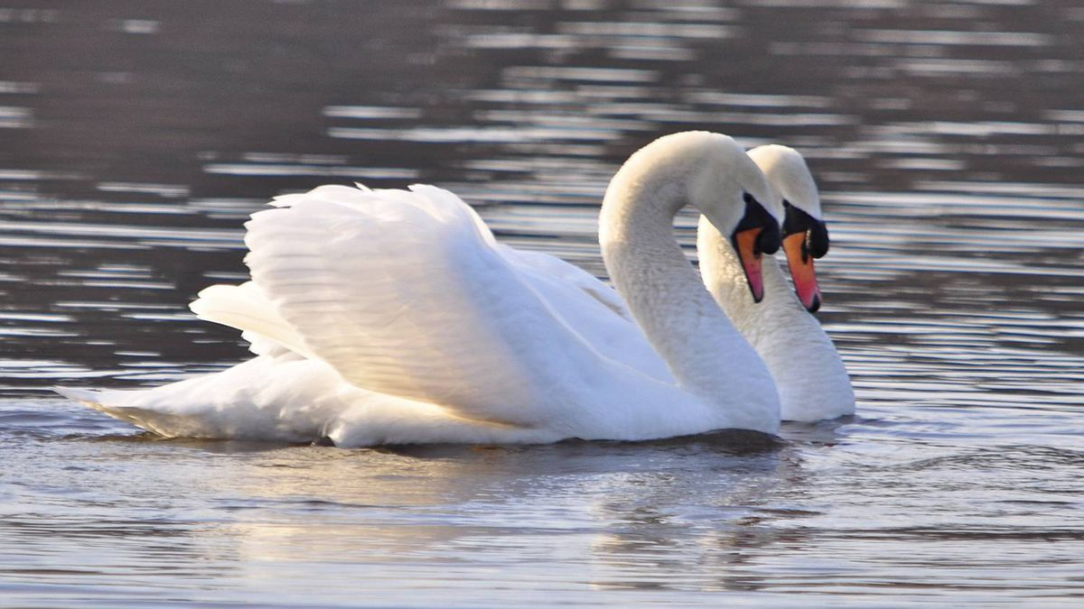 Carol Carson photo: Swan Hearts - : The swan on the right spun around and around, as the other watched. Then they met, necks forming a perfect heart, before swimming off, side-by-side.