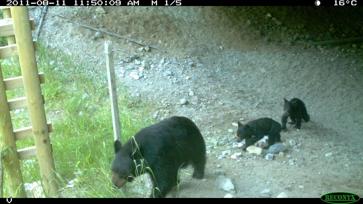 A black bear and cubs safely cross the highway.