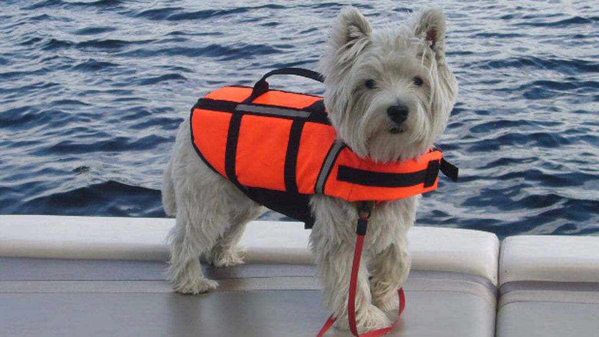 From Nora Guinane in Toronto: Our Westie, Cosmo, at 12 months. His first trip on our pontoon boat at our cottage on Lake Muskasong, Ontario.