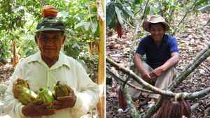 A Peruvian farmer with the CEPICAFE Co-op holds recently picked cocoa pods (L). A Peruvian farmer with the CACVRA Co-op is shown among a group of cocoa trees (R). Both are co-ops in Peru from which La Siembra sources its cocoa.