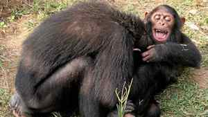 Kauka at the chimp sanctuary
