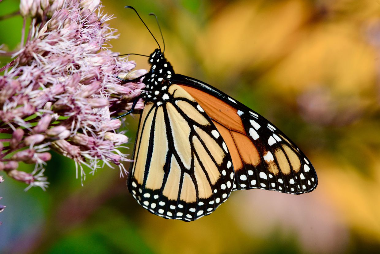 The butterfly effect: How Canadians and their smartphones are helping scientists map species diversity