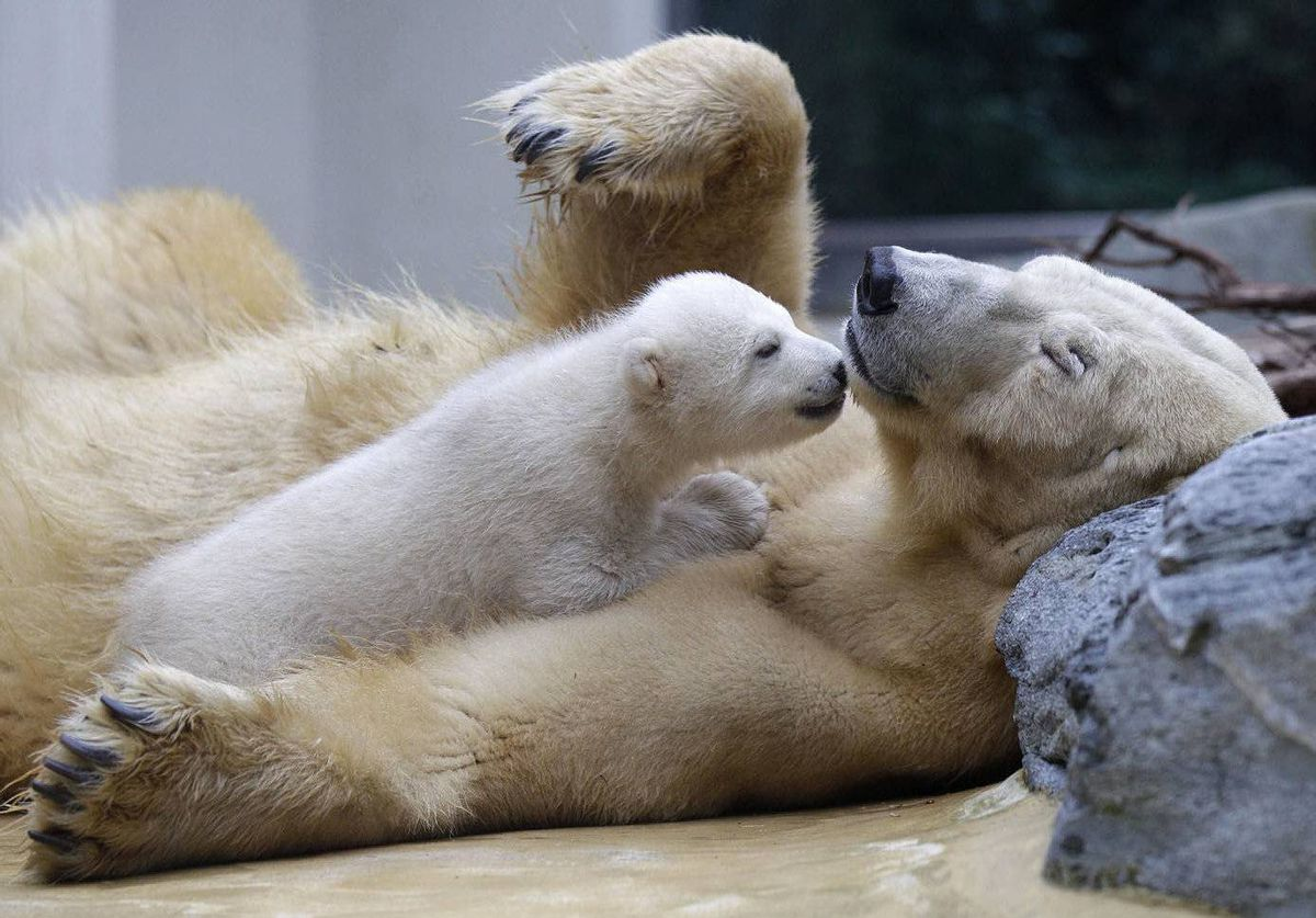 Female polar bear cub Anori plays with her mother Vilma in their outdoor enclosure at the Zoo in Wuppertal, Germany. Anori was born January 4 and left the birth cave for the first time Thursday.