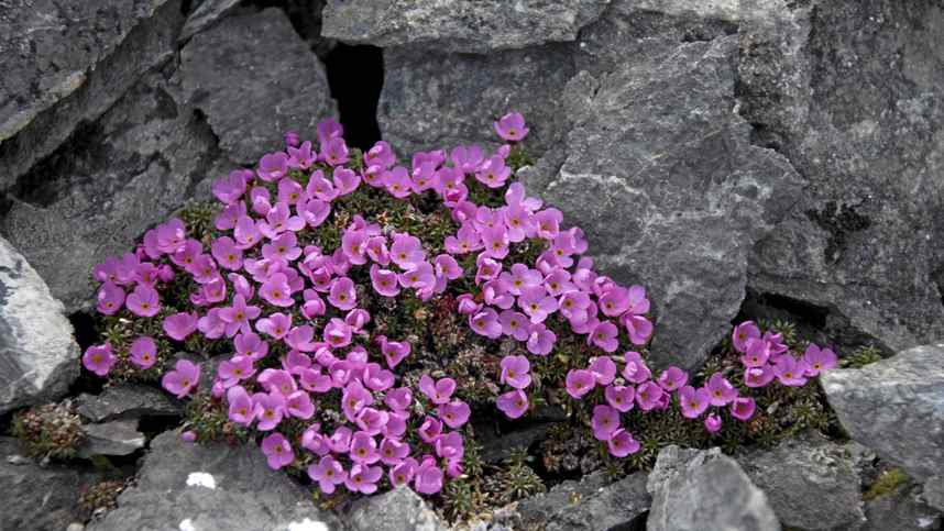 The park wakes from its winter sleep in May. By mid-June, the Arctic tundra roars to life with purple crocuses, lemon yellow cinquefoil, pink Alaskan phlox and wild blue forget-me-nots. Moss Campion, seen here, is a small mountain-dwelling wildflower found throughout the high Arctic.