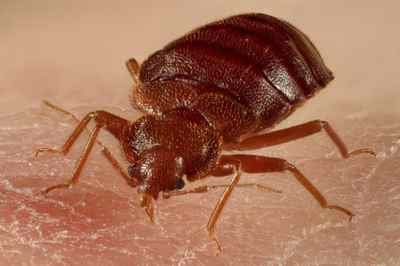 A bed bug is seen in this undated handout photo courtesy of the University of Sheffield.