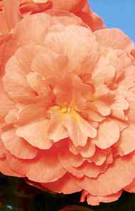THE FLOWER CHILD PC Gigantico Go-Go Begonia, $3.99 at Loblaw garden centres across Canada.