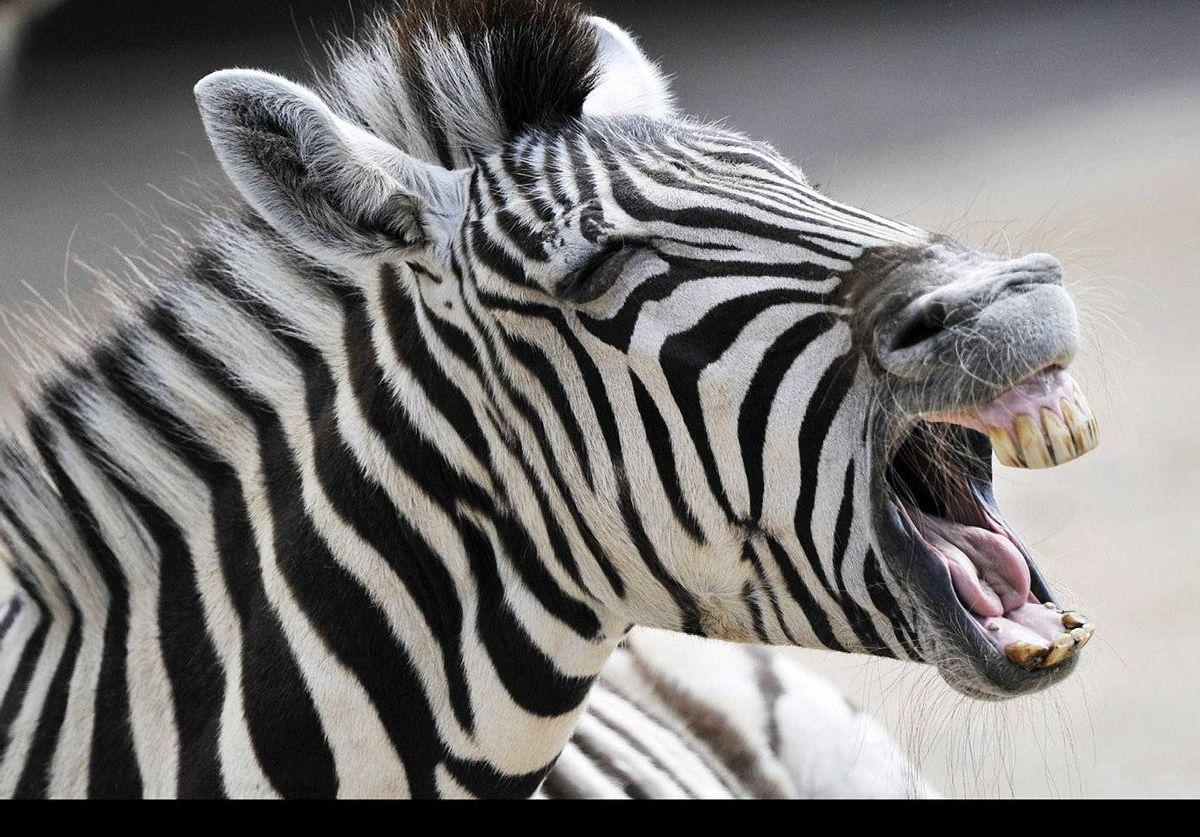 A zebra yawns at the zoo in Heidelberg, Germany.
