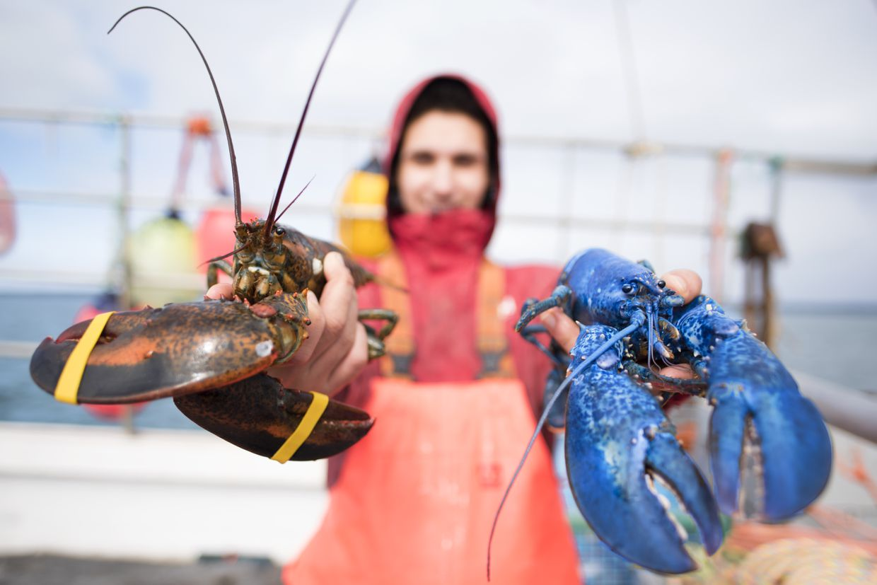 Canadian Fishermen Want Cheaper Lobster Bait Americans Want To Stop