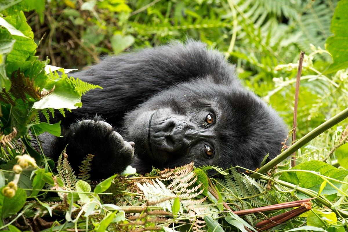 uganda u2019s mountain gorillas  worth the tough trek into the