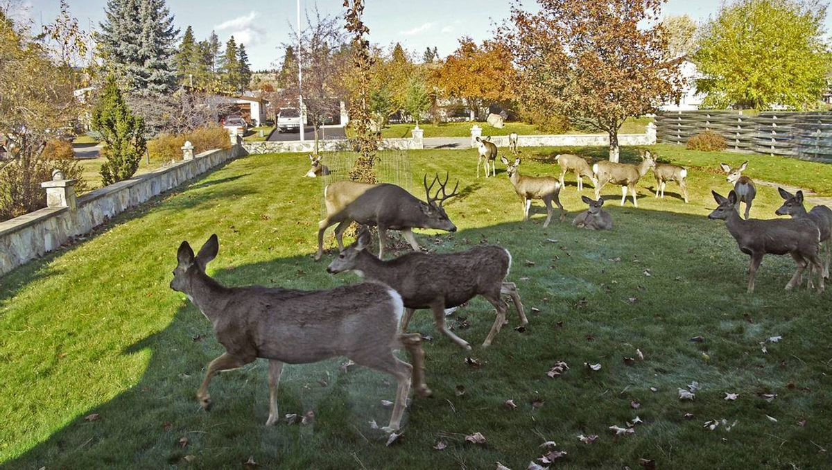 The number of urban deer in the Kootenays continues to increase, along with the reports of attacked pets and damaged property. Cranbrook Mayor Wayne Stetski said that between 2010 and 2011, complaints about aggressive deer more than doubled.