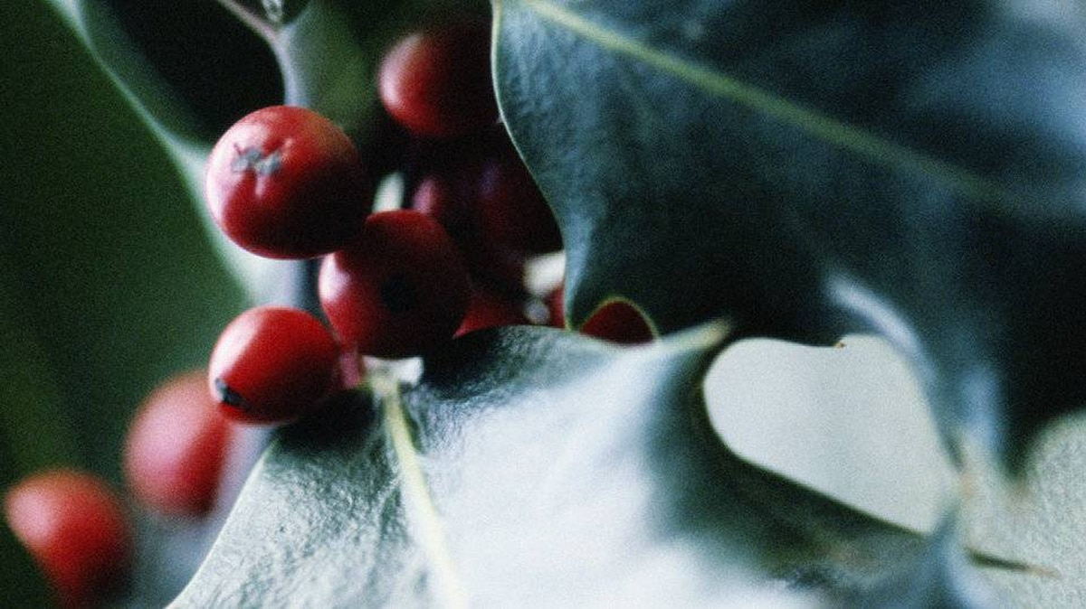 Eating more than three holly berries can cause prolonged nausea, vomiting, diarrhea and drowsiness. Keep out of the reach of children.