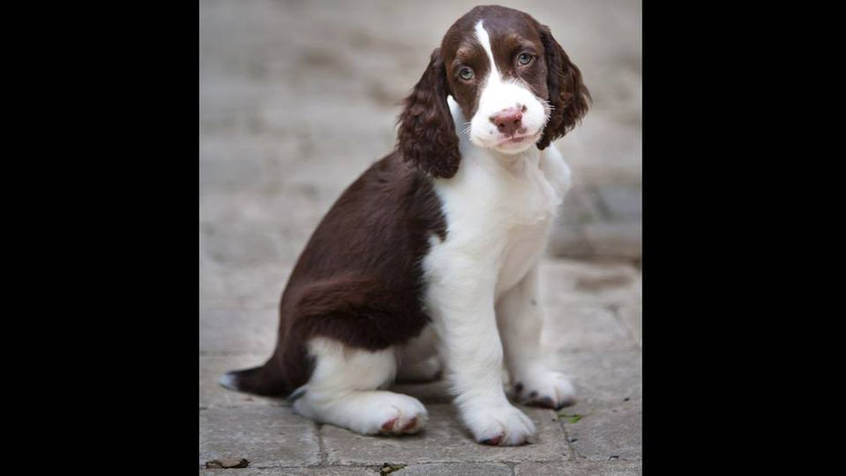 From Rob Nicholson in Markham, Ont.: Here's our new English Springer Spaniel puppy, Molly Springwald