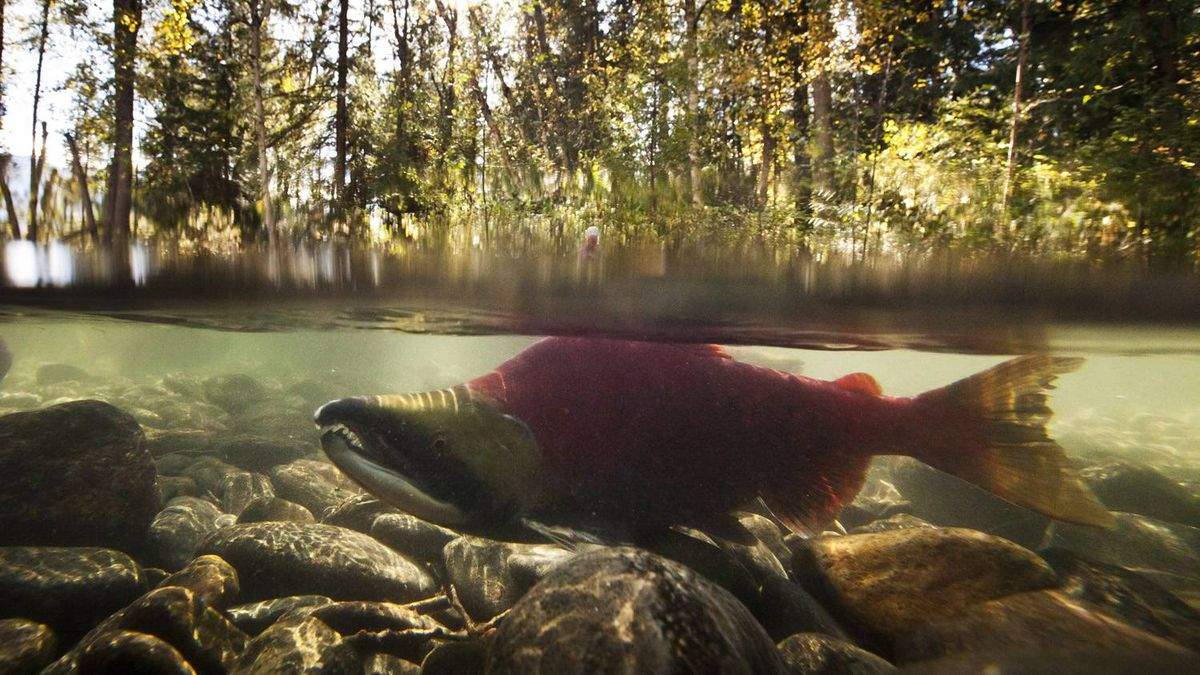A male sockeye salmon in a stream off of the Adams River at Roderick Haig-Brown Provincial Park north of Chase B.C. October 12, 2010.