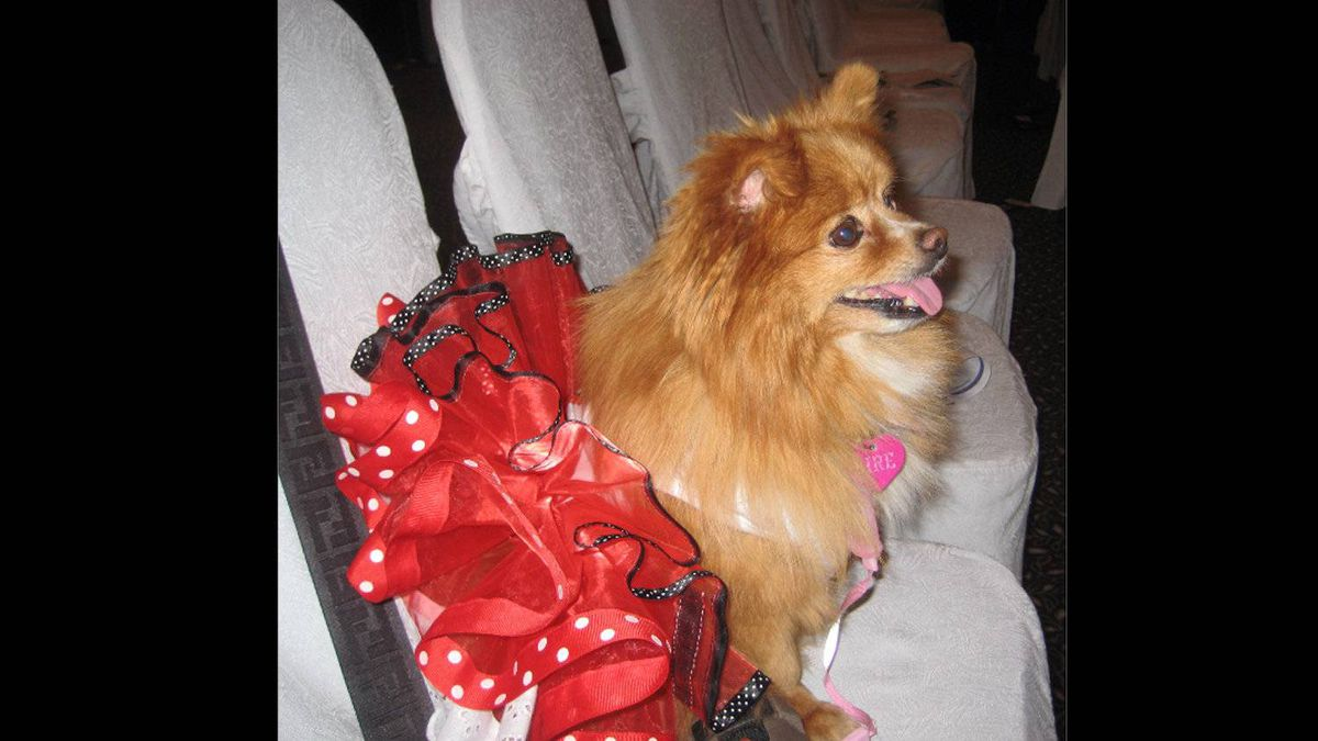 Miss Fire is all dressed up and ready to party in her cha-cha outfit to watch the KW SPCA doggie fashion show in 2010. She was asked to walk the runway and still talks about her glam moment two years later.