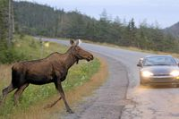 A moose runs in front of a car as it crosses the road in Gros Morne National Park in NL Tuesday, August 14, 2007.A lawyer says he launched a class-action lawsuit against the government of Newfoundland and Labrador in a bid to reduce the number of collisions between moose and motorists in the province.
