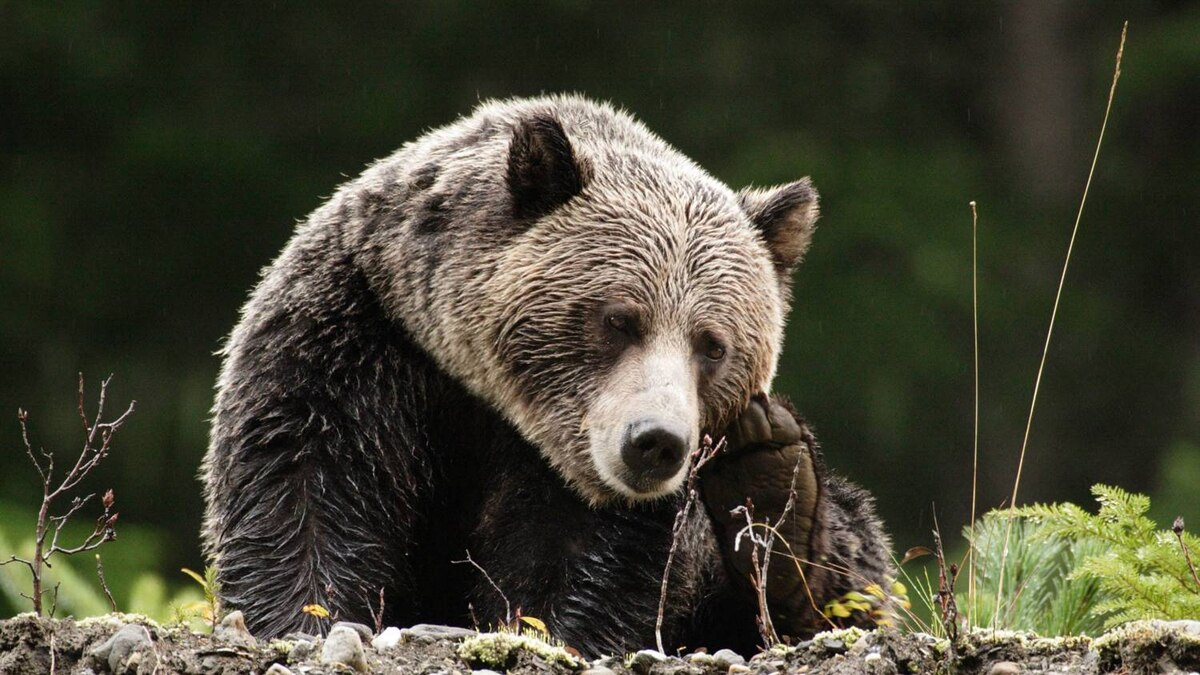 New scientific research proves the area is home to a critical anchor population of grizzlies.