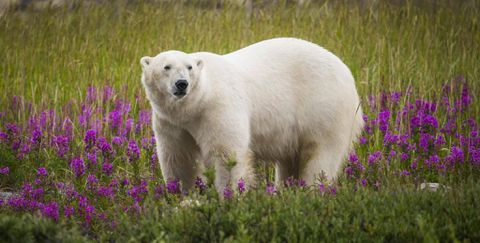 Hudson Bay polar bear encounters reach record level