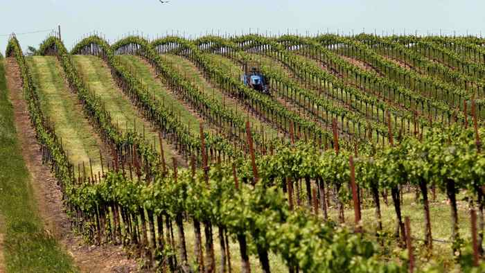Grass growing between rows of Merlot grapes is mowed at a vineyard near Galt, California.