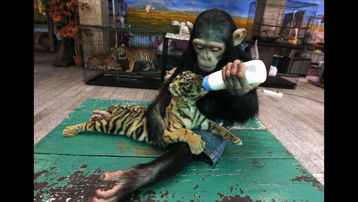 "Two-year-old chimpanzee ""Do Do"" bottle feeds milk to ""Aorn"", a 60-day-old tiger cub, at the Samut Prakan Crocodile Farm and Zoo on the outskirts of Bangkok July 30, 2011."