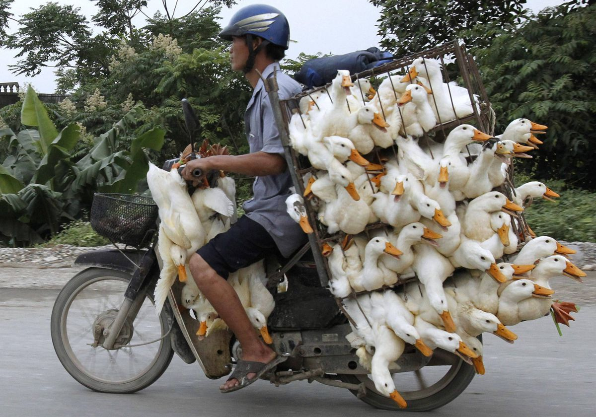 A man transports ducks on a motorcycle to a market in Nam Ha province, outside Hanoi.