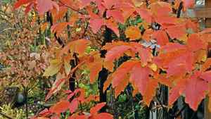 Paperbark maple: Its shiny cinnamon-coloured bark exfoliates to reveal striated new skin of pink, green and brown.