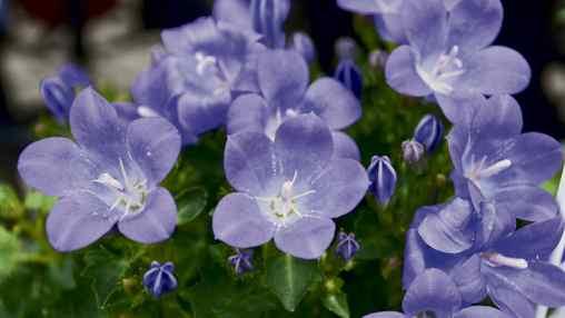 Campanula poscharskyana 'Blue Waterfall' (Serbian bellflower)