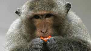 A macaque monkey eats a candy in the town of Lopburi, north of Bangkok.