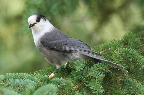 Gray jay gets nod for Canada's national bird