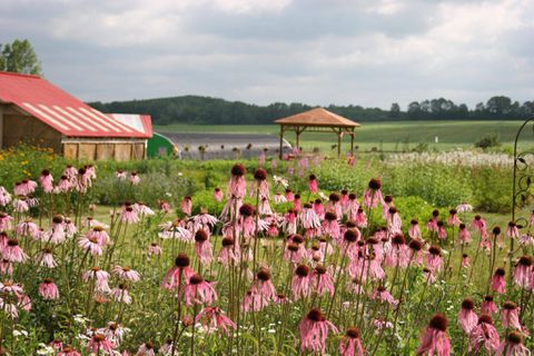The pale purple coneflower is easy to grow and loved by good insects like butterflies