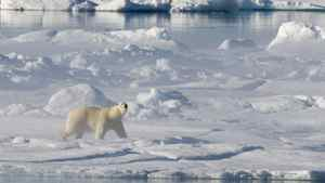 A polar bear stands on a ice flow in Baffin Bay above the arctic circle as seen from the Canadian Coast Guard icebreaker Louis S. St-Laurent Thursday, July 10, 2008.