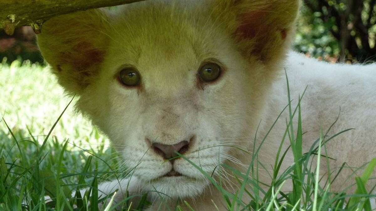 From Kathryn Ezra, New York: I took this photo of Simba, a white lion cub, while visiting a lion sanctuary in Zambia.