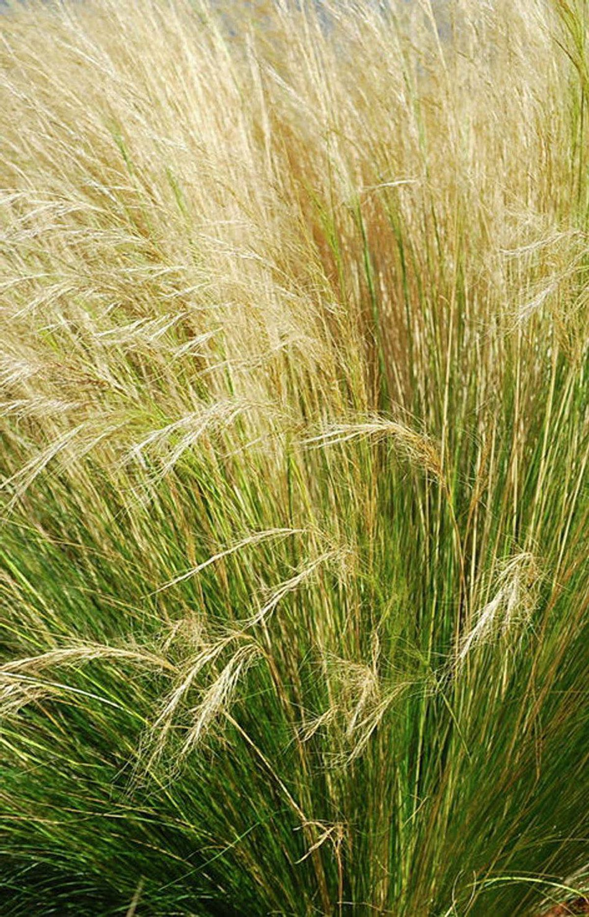 THE POST-MODERNIST Mexican feather grass , $3.99 at Sheridan Nurseries.