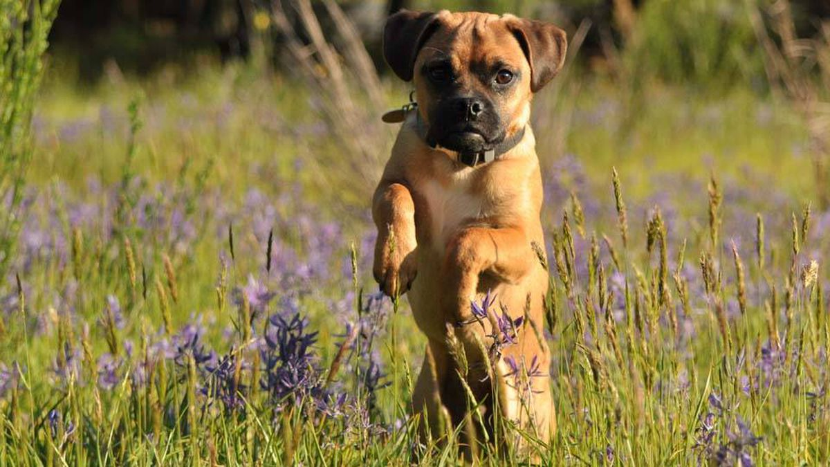 From Jody Coulter in Ladysmith, B.C.: Winston is a 6 month old puggle and loves to be outdoors with Dad. He loves to cuddle, and chew apart any kind of stuffed toy!