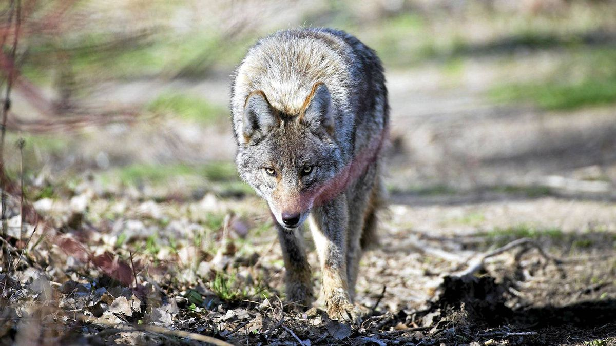 A coyote is seen at Cherry Beach in Toronto, Ont. Tuesday, April 3/2012.