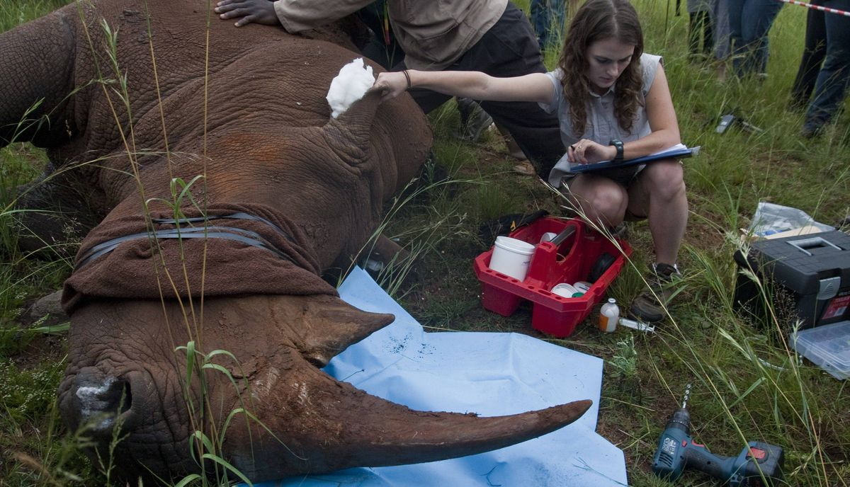 A veterinarian takes the sedated rhino's pulse from a vein on its ear. The rhino's ears are stuffed with cotton to muffle sounds, and a towel is wrapped around its eyes to help keep it calm.