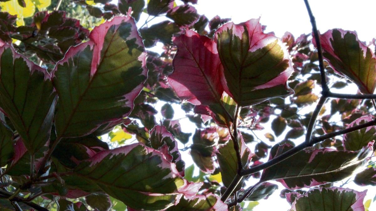 Fagus Purpurea 'Roseomarginata'