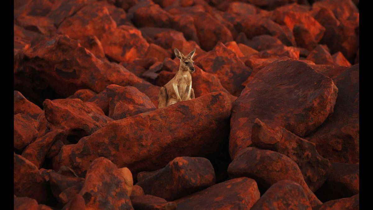 A kangaroo stands on iron ore boulders near the port of Dampier in the Pilbara region of Western Australia April 19, 2011.