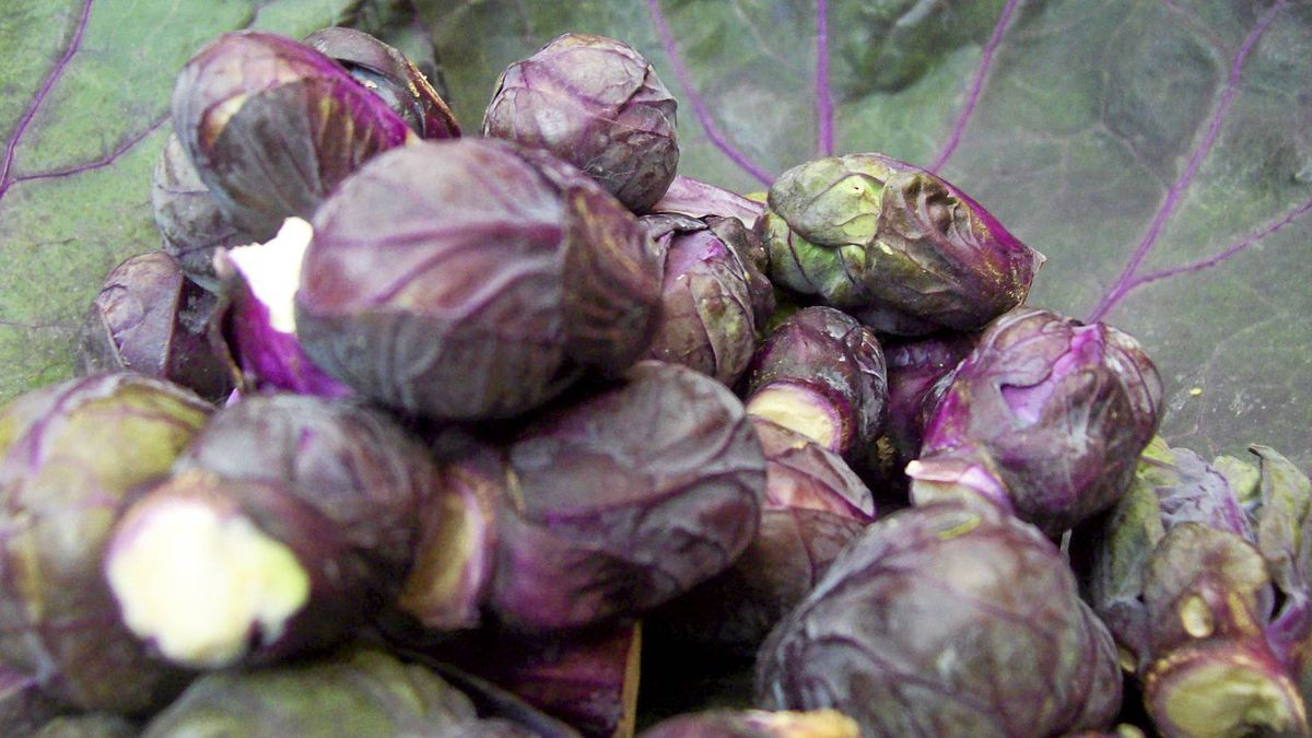 Examples of the new generation of cross-breeding: Red brussel sprouts.