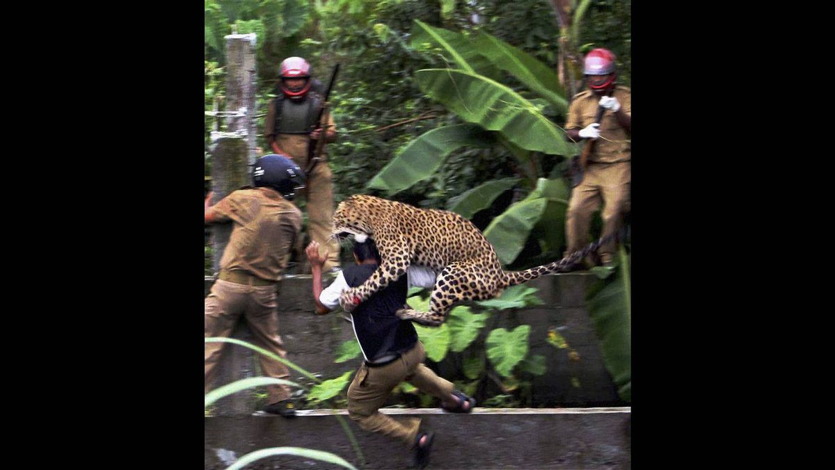 A leopard attacks a forest guard at Prakash Nagar village near Salugara, on the outskirts of Siliguri, India July 19, 2011. The leopard strayed into the village area and mauled several villagers, including three guards, before being caught by forest officials. The leopard, which suffered injuries caused by knives and batons, died later in the evening at a veterinary center. The forest guard being attacked was injured.