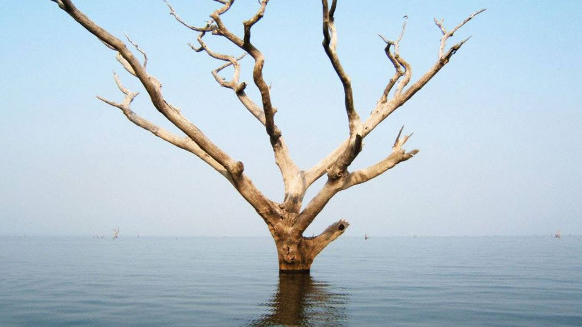 The dead and abandoned trees to be harvested are rooted to the bottom of Lake Volta, a reservoir flooded during construction of Ghana's Akosombo hydroelectric dam in 1965.